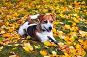 Cute jack russell terrier, dog with a stick on a background of a — Foto de Stock