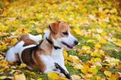 Cute jack russell terrier, dog with a stick on a background of a — Zdjęcie stockowe