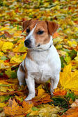 Cute beagle dog on autumn forest with leaves — Foto de Stock