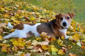 Cute beagle dog on autumn forest with leaves — Zdjęcie stockowe