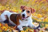 Cute beagle dog on autumn forest with leaves — Foto Stock