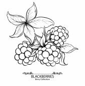 Blackberries. Vector illustration of ink hand drawn berry — Stock Vector