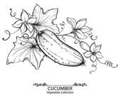 Vector hand drawing illustration of cucumbers and flower on a branch isolated on white background. Collection of vegetables — Stock Vector