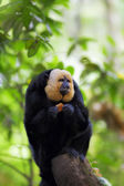 White-faced Saki Monkey — Stock Photo