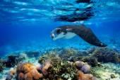 Manta ray — Stock fotografie