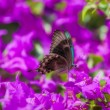 Blue Swallowtail Butterfly — Stock Photo #55946077