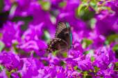 Blue Swallowtail Butterfly — Stock Photo