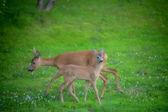 Roe deers in a garden — Стоковое фото