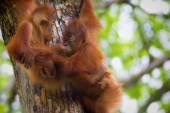 Borneo Orangutans — Stock Photo