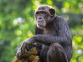共通のチンパンジー — ストック写真