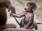 Young baboon — Stock Photo