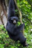 Siamang Gibbon — Stock Photo
