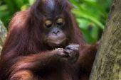Borneo Orangutan — Photo