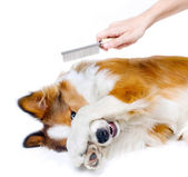 Funny dog showing fear of grooming — Stock Photo