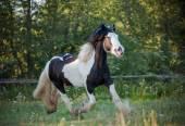 Gypsy horse walking — Stock Photo