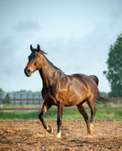 Horse in paddock — Stock Photo