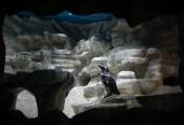 Magellanic penguin indoors — 图库照片