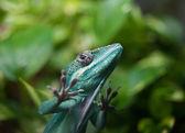 Carolina Anole lizard — Stock Photo