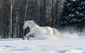 White horse runs in winter — Stock Photo