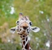 Funny giraffe — Stock Photo