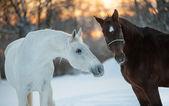 Horses communicating in winter — 图库照片