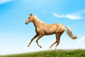 Palomino akhal-teke stallion — Stock Photo