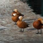 Ogar ducks on a snow having rest — Stock Photo #68041569