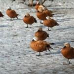 Ogar ducks on a snow having rest — Stock Photo #68041575