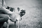 French buldog with owner — Stock Photo