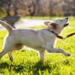 Golden retriever puppy walking — Stock Photo #79362278