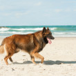 Dog and the sea — Stock Photo #79822786