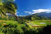 Taro fields in Hanalei Valley — Stock Photo