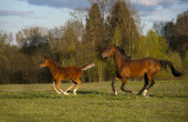 The arabian mare and foal runs free summer — Stock Photo