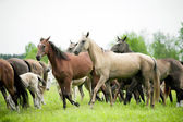 Akhal-teke horses herd runs free — Stock Photo