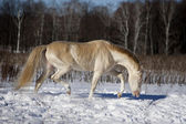 Perlino akhal-teke stallion in snow — Stock Photo