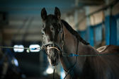 Bridle a horse in the stall — Stock Photo