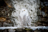Polar-Eule männlich closeup — Stockfoto