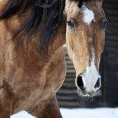 Dun lusitano horse portrait closeup in winter — Stock fotografie