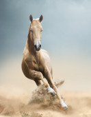 Akhal-teke horse in desert — Stock Photo