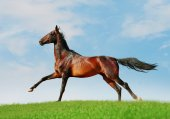 Akhal-teke free horse — Stock Photo