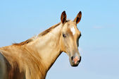 The portrait of cute little akhal-teke foal — Stock Photo