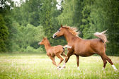 Arabian foal with mare — Stock Photo