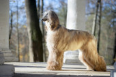 Afghan Hound autumn outdoors — Stock Photo