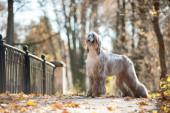 Grey afghan hound posing on autumn park — Stock Photo