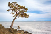 Lonely tree near Baikal lake — Zdjęcie stockowe
