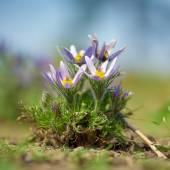 Flores de Pulsatilla — Fotografia Stock