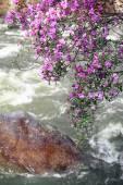 Rhododendron dauricum over river Ilgumen — Stock Photo