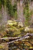 Fluxo pantanoso na Altay Taiga — Fotografia Stock