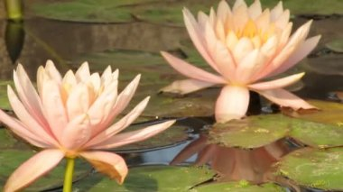 Water lily flowers — Stock Video