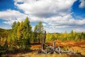 Autumn forest with dead tree — Stock Photo